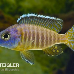Aulonocara-korneliae
