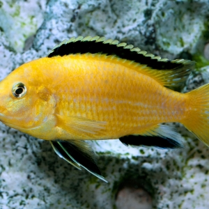 Labidochromis caruleus yellow