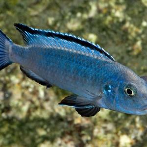 Pseudotropheus-socolofi 2