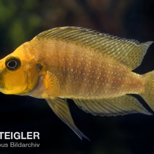 Altolamprologus-compressiceps-Gold