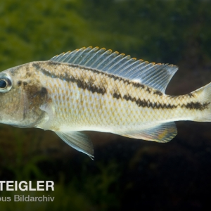 Aristochromis-christyi