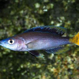 Cyprichromis-leptosoma-Kitumba