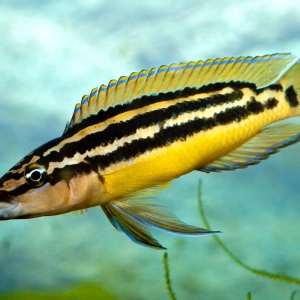 Julidochromis-ornatus-Yellow
