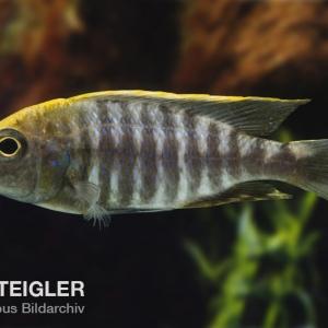 Aulonocara-maylandi-Sulphur-Head