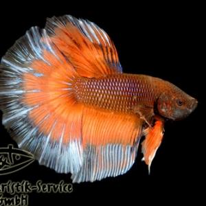 HM Orange Butterfly