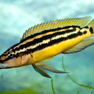 Julidochromis-ornatus-Yellow